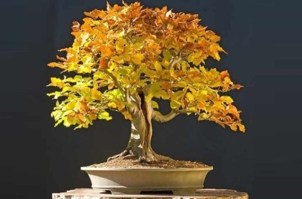 fagus bonsai lucaferri roma