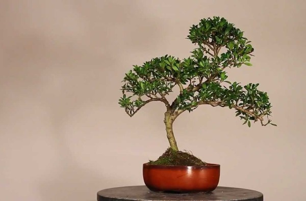 ilex bonsai lucaferri roma