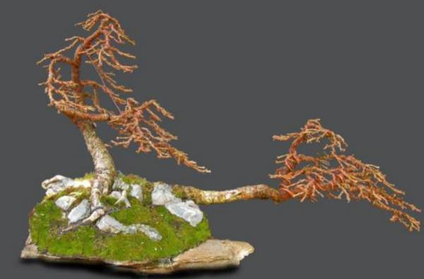 larix bonsai roma