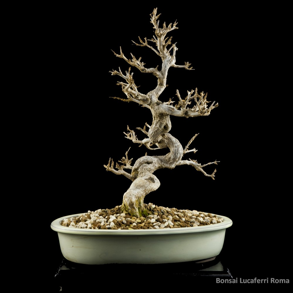 melograno punica granatum  bonsai lucaferri roma