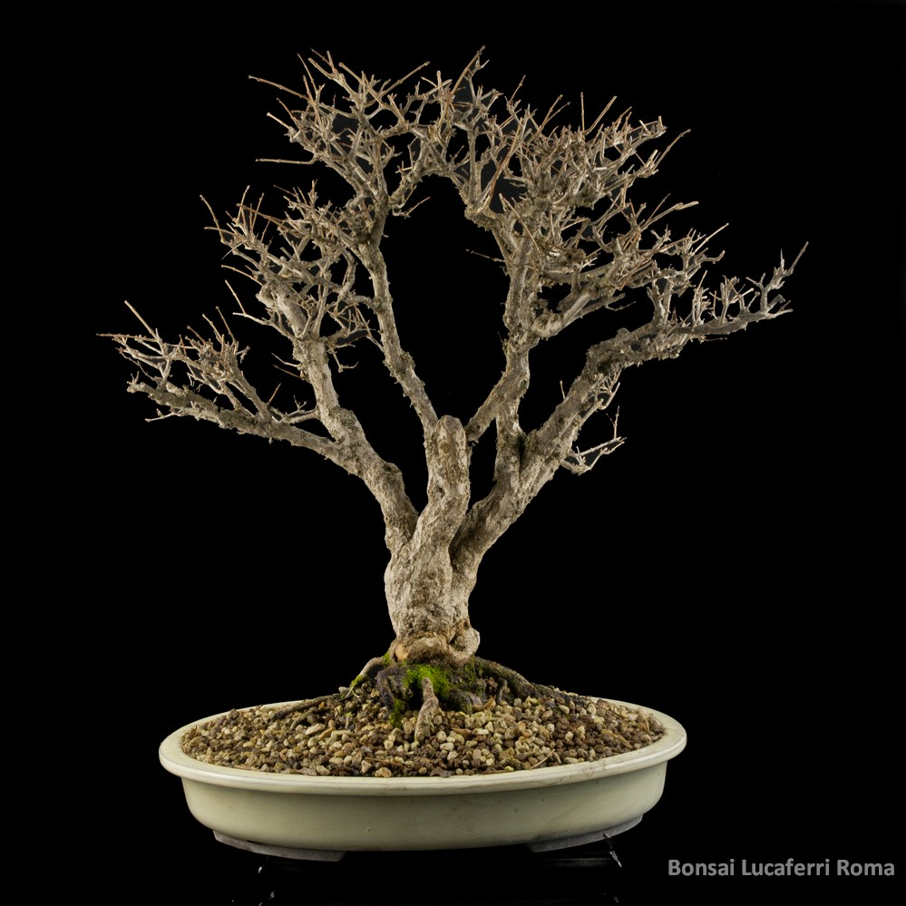 melograno punica granatum  bonsai prezzo